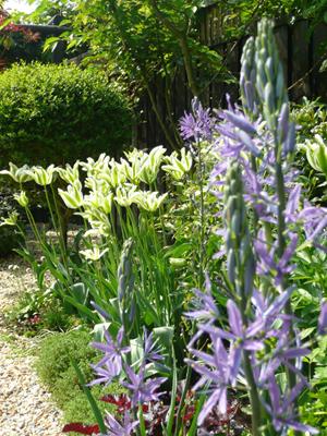 Camassia en Tulipa 'Spring Green'klein